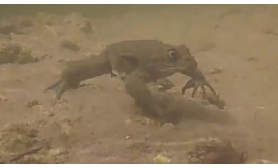 Hallan en Perú una especie de rana amenazada que era consumida en jugos (VIDEO)