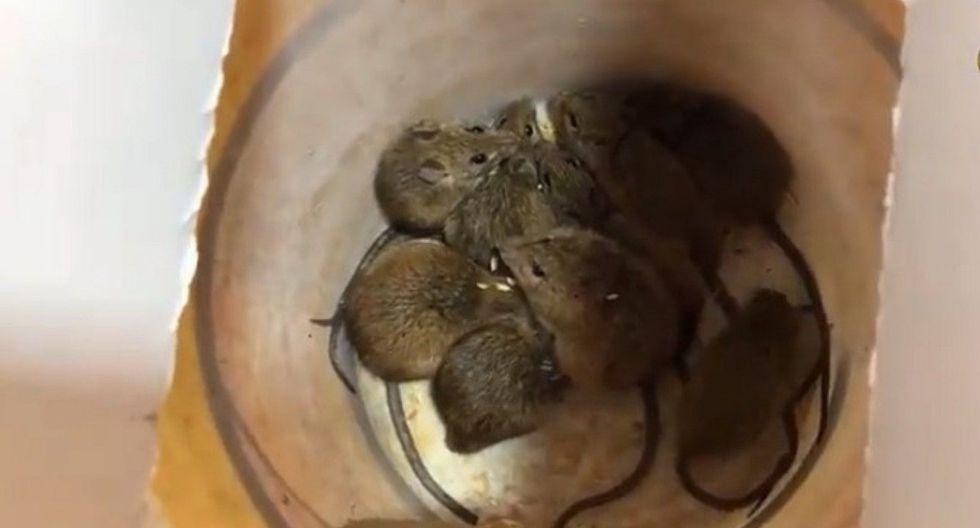 Si tienes ratas en casa, conoce cómo fabricar una trampa casera para atraparlas (VIDEO)