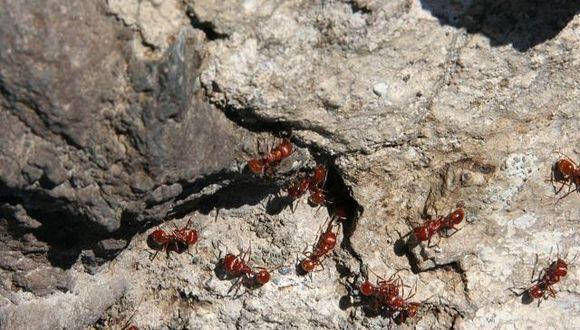 Las hormigas procesan datos mejor que Google, según estudio
