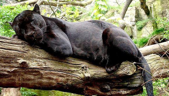 Cámaras trampa captan un jaguar negro en plena selva de Cusco (FOTOS)