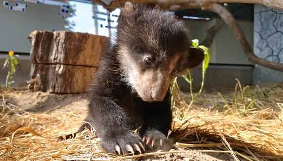Con una alimentación especial que recibe cinco veces al día, el animalito se recuperó y ahora pesa más de 4 kg.