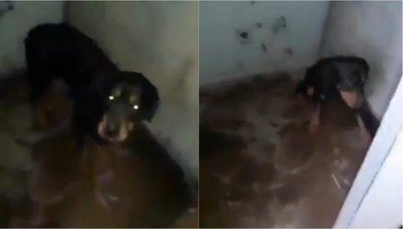 Perra de la Brigada Canina de la Municipalidad de Chorrillos en un lugar con condiciones insalubres. | Foto: Captura de pantalla.