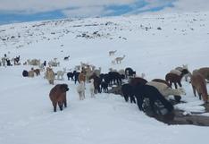 Nevadas dejan vías intransitables y provocan muerte de alpacas en Puno (FOTOS)