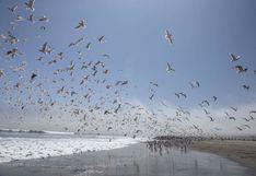 Decenas de gaviotas abarrotan playa Agua Dulce durante aislamiento