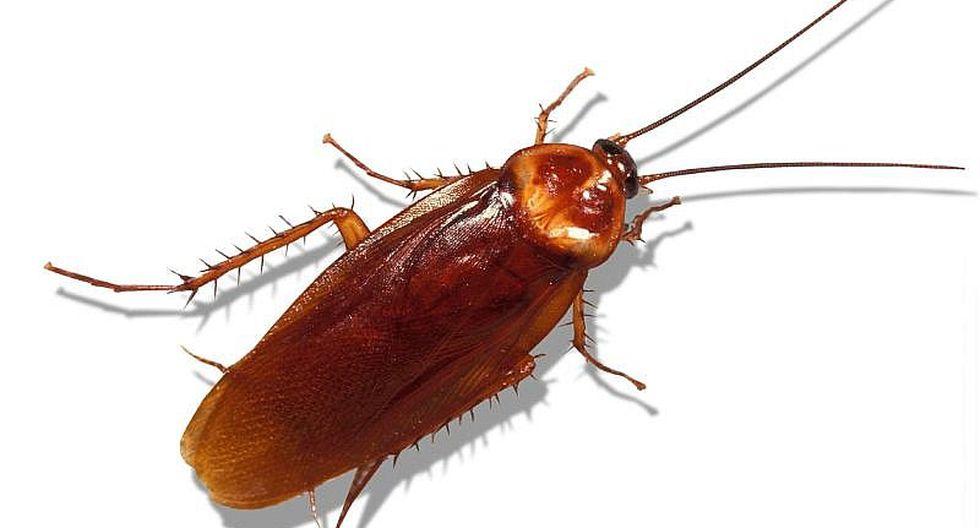 La leche de cucaracha podrá convertirse en superalimento