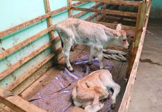 Huancavelica: Proceso de inseminación de terneros gemelos es un éxito en Estación Experimental de Callqui Chico