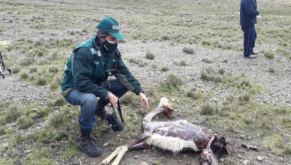 Pobladores reportaron la presencia de ocho cadáveres de vicuña en el límite de la provincia de Caylloma con Cusco. (Foto: Serfor)