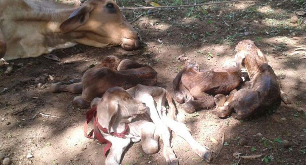 Panamá: Sorpresa y regocijo en poblado donde vaca parió cuatro terneros