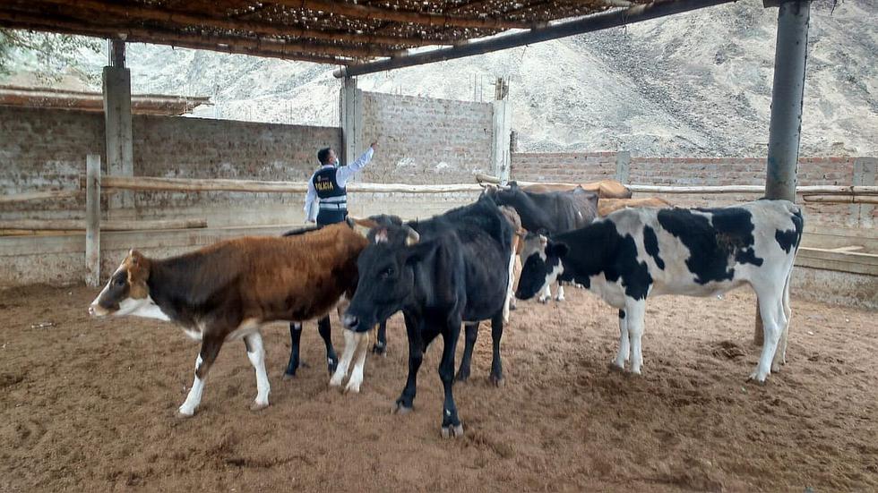 Roban 10 animales en Ayacucho y son hallados en un establo de Ica