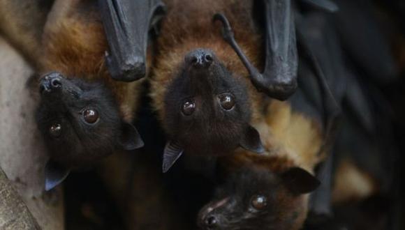 Varias enfermedades humanas nuevas, incluido el coronavirus y el mortal virus de Nipah, se han originado en murciélagos. (Foto: AFP)