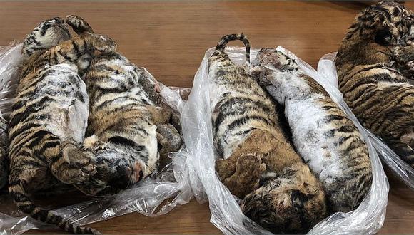 Siete tigres bebés congelados fueron encontrados en un vehículo en Vietnam