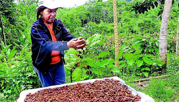 Familias del distrito de San Gabán ya producen cacao