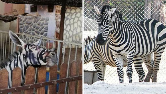 Joven visita zoológico y descubre a burro pintado como si fuera una cebra (FOTOS)