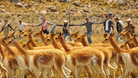 Durante el 2020 no hubo esquila de vicuña debido a la pandemia| Foto: Archivo