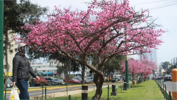 La flor de Sakura embelleciendo la berma de una conocida avenida en Jesús María. Foto: Lino Chipana