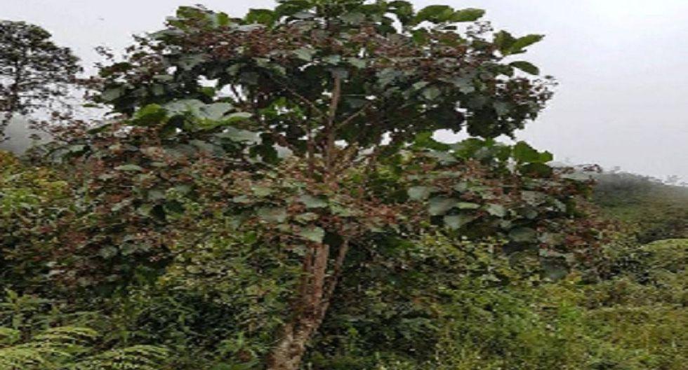 Gobierno Regional de Cajamarca rescatará árbol de la quina