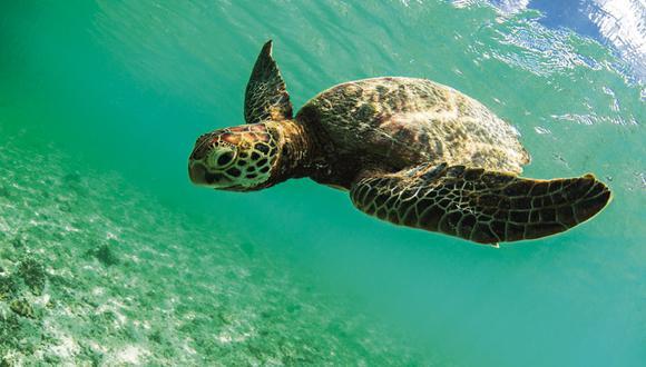 Solo 1 de cada de cada 1.000 crías de tortugas marinas que salen del nido logra llegar a la adultez.