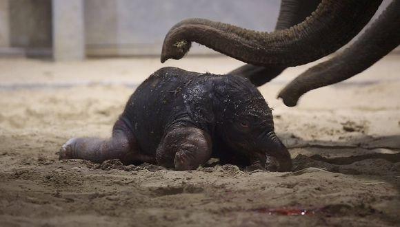 Captan a elefante bebé tratando de dar sus primeros pasos (VIDEO)