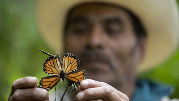Migración de mariposas monarca cuadruplicará zona forestal