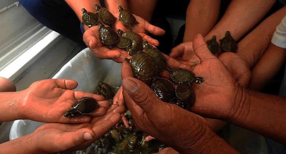 Liberan cerca de 500 tortugas taricaya en Loreto (FOTO)