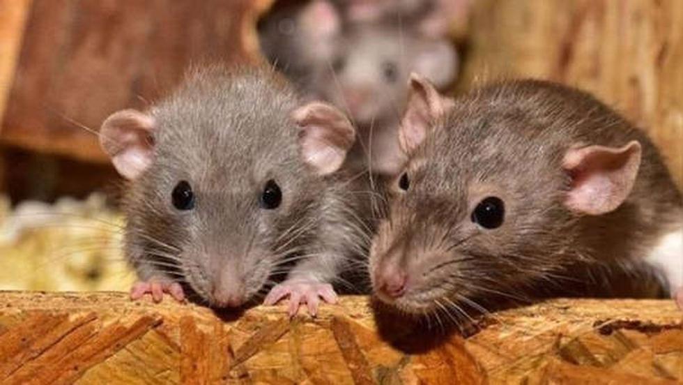 Los roedores son conocidos por ser transmisores de muchos virus, entre ellos, la fiebre hemorrágica de Lassa, que afecta varias regiones del oeste de África. Otros de ellos es el hantavirus que, en los Estados Unidos, fue identificado por primera vez en 1993. También se han reportado casos en la Patagonia de la Argentina donde hubo un brote a fin de esa misma década. (Foto: AFP)