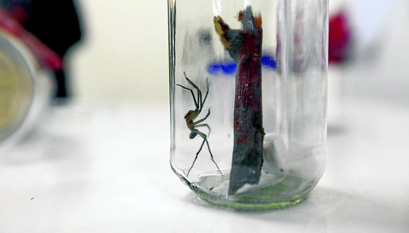 La araña loxosceles, que anida en las viviendas, tiene un veneno poderoso que puede matar a una persona en horas