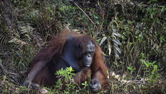 ¿Puedo ayudarte?: La foto de un orangután que tiende la mano para ayudar a un hombre. Foto: Anil Prabhakar