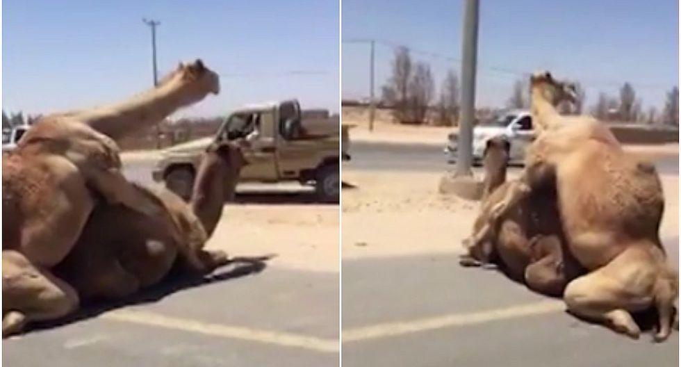 Dos camellos sorprendieron al aparearse en plena carretera (VIDEO)