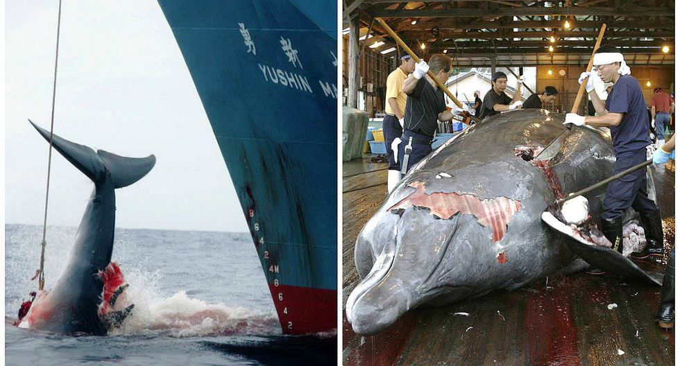 Japón justifica caza de 333 ballenas con fines científicos