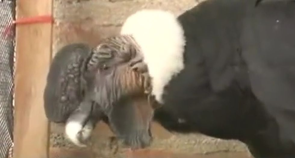 Áncash: Rescatan a cóndor andino en Huaraz