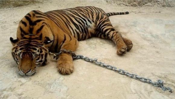 Un tigre que fue alejado de su hábitat natural descansa mientras está encadenado. Foto: Instagram