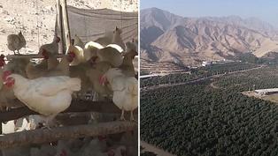 Ecología: Peruano usa desechos de aves para plantar árboles en el desierto