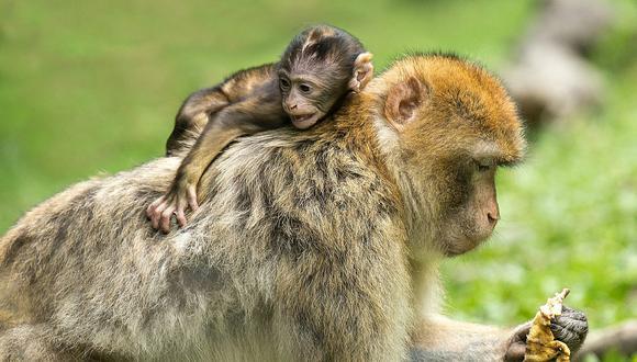 ¿Lo animales sufren? Mira la triste imagen de una mona con su cría
