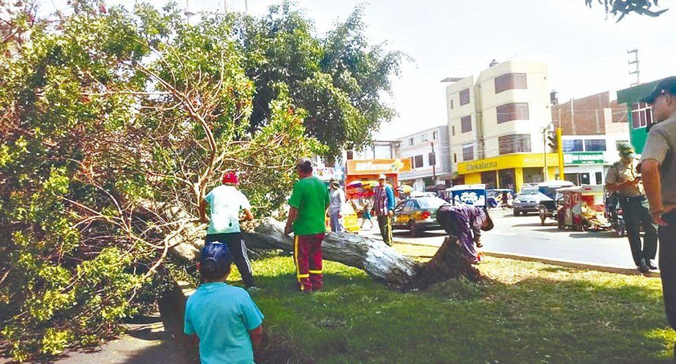 Pesado árbol cae y causa preocupación entre los vecinos del 21 de Abril