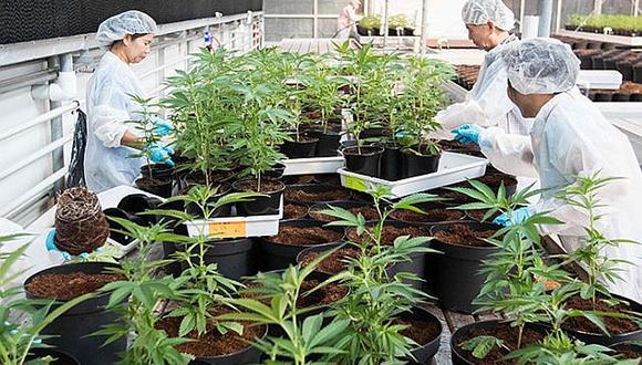Cannabis, una opciónpara el dolor crónico