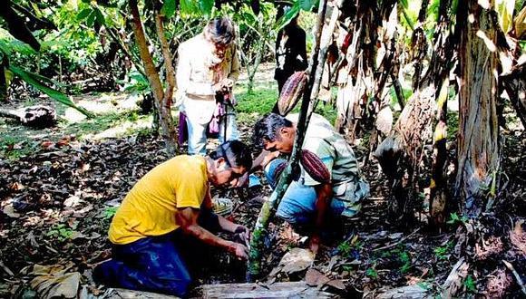 Unas 500 familias ingresan a programa de café y cacao