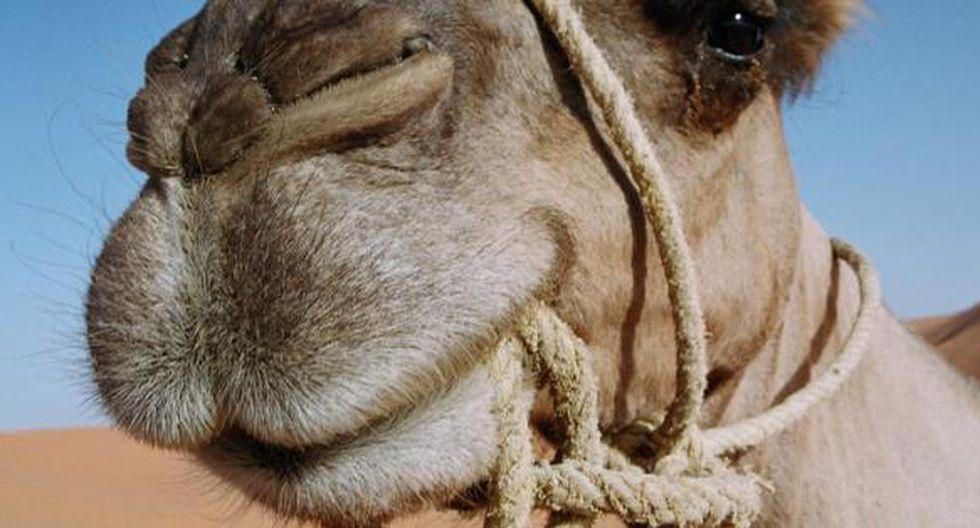Hombre falleció tras ser golpeado y aplastado por su camello