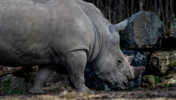 Male South white Rhinoceros is pictured on December 2, 2019 at the Pairi Daiza animal park, in Brugelette. (Photo by Kenzo TRIBOUILLARD / AFP)