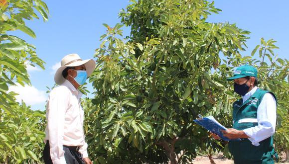 La palta moqueguana es famosa por su frondosa pulpa y exquisito sabor. (Foto: Difusión)