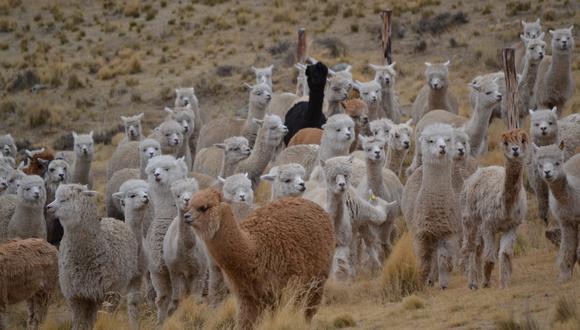 Más del 80% de la población mundial de alpacas se encuentran en Perú. (Foto: Difusión)