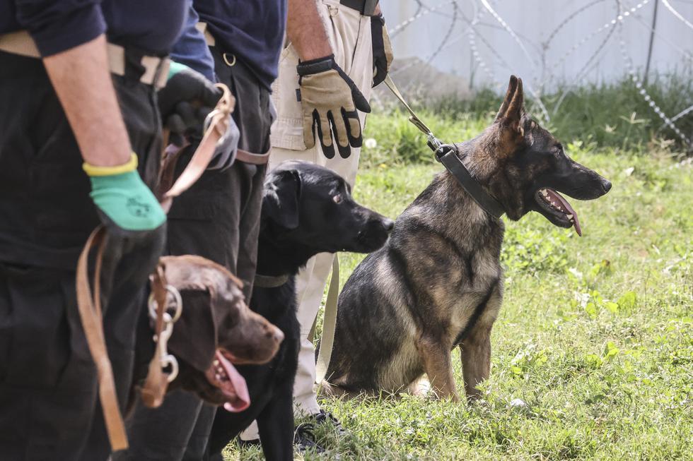 La mayoría de los perros, algunos especializados en buscar explosivos, fueron encontrados, según sus nuevos dueños, en la sección del aeropuerto controlada por el ejército estadounidense, que abandonó Afganistán el 30 de agosto tras 20 años en el país. (Foto: Karim SAHIB / AFP)