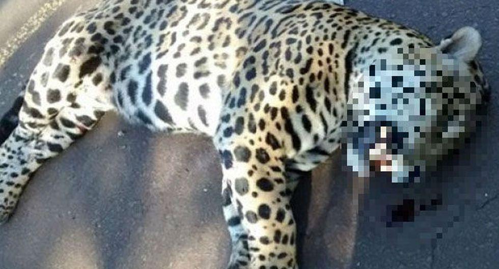 Muerte de jaguar atropellado causa alarma en Argentina