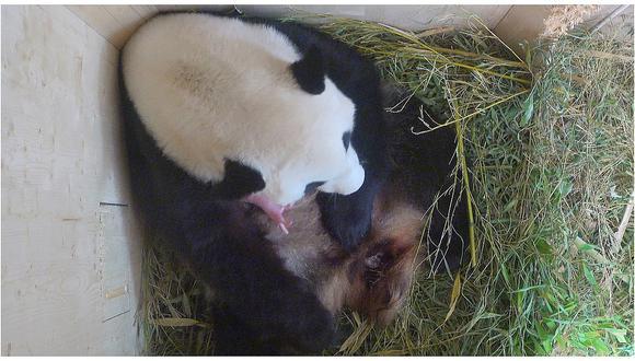 Viena: Nace oso panda gigante tras inseminación natural