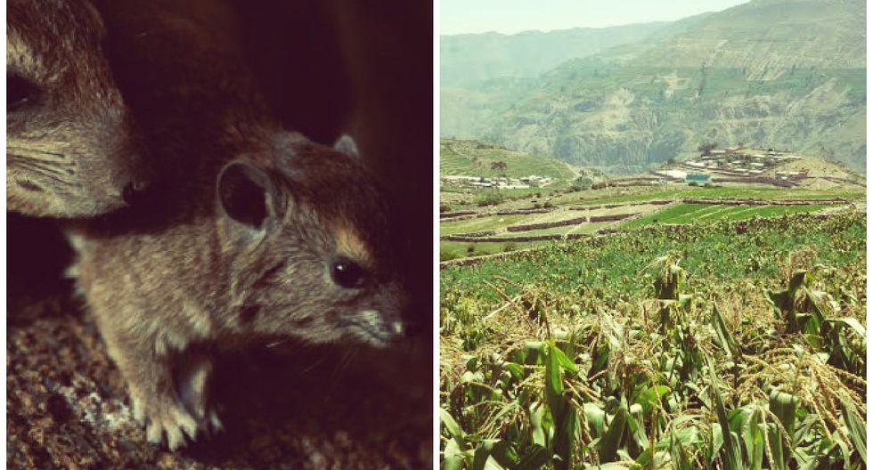 Tacna: plaga de ratas ha acabado con el 40% de cosechas de agricultores