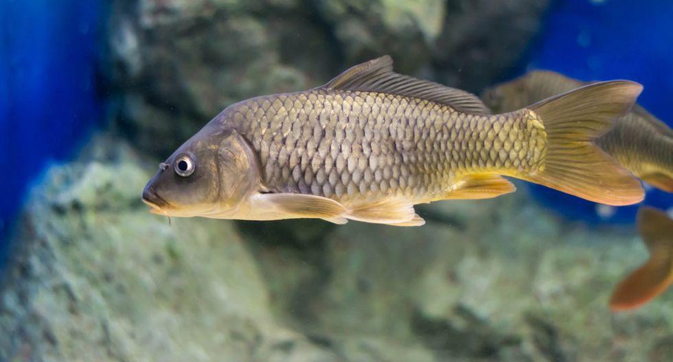 El pez de la sanación: sus celulas tienen la capacidad de combatir enfemedades