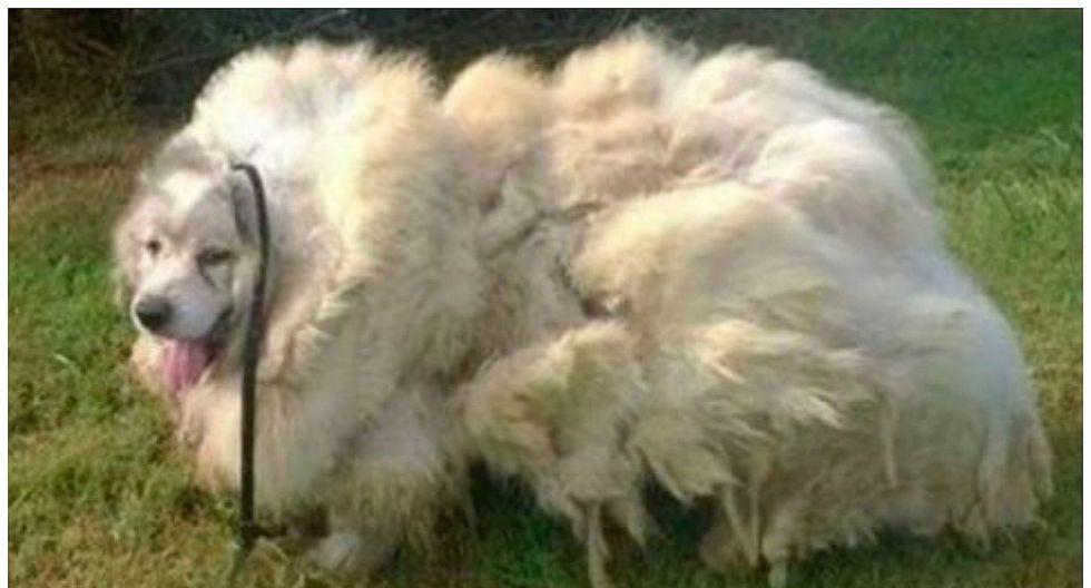 Facebook: perrito perdió más de 15 kilos de pelo y así quedó (FOTOS)