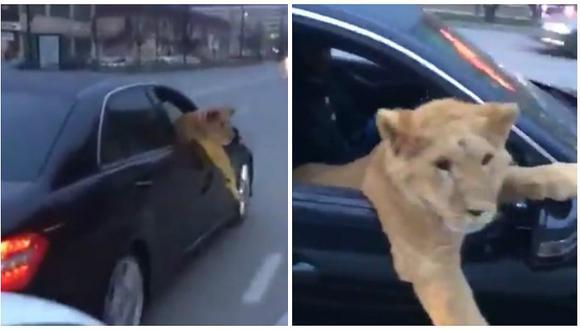 Twitter: jóvenes sacan a pasear a un león en su auto y el felino hace esto [VIDEO]