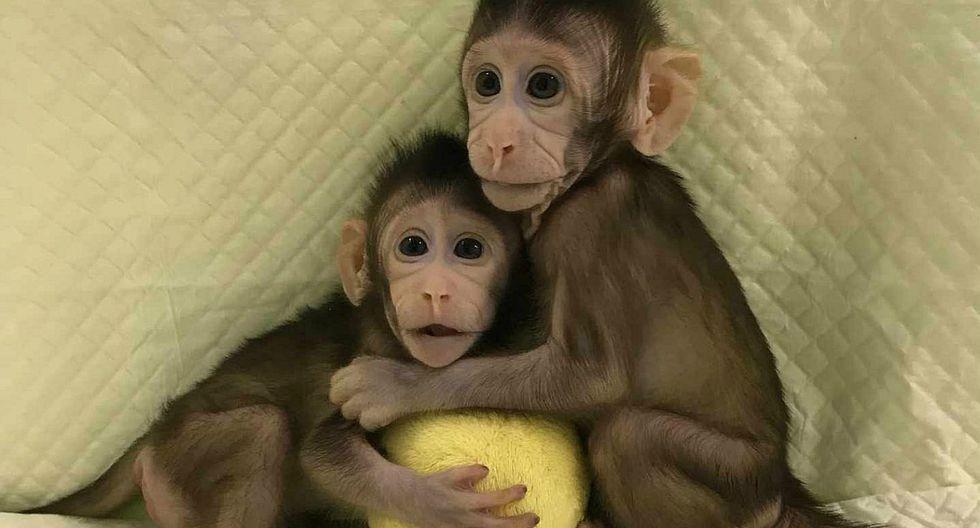 China clona por primera vez a dos primates con el método de la oveja Dolly (FOTOS)
