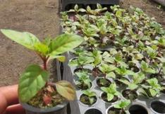 Bicentenario: Conoce la importancia del árbol de la quina y en qué partes de San Isidro crece