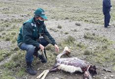 Lanzan alerta por caza furtiva de vicuñas en Arequipa
